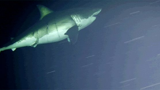 http://sploid.gizmodo.com/a-great-white-shark-got-caught-napping-on-camera-for-th-1782784124
