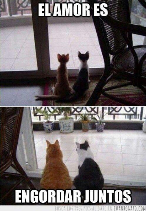 Gatos el amor es engordar juntos.