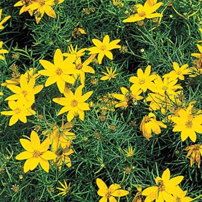 Yellow flowers foundation planting and foundation on pinterest