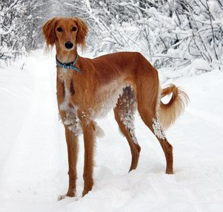 saluki photo | Saluki is a fine companion, a good guard, gets along well with ...