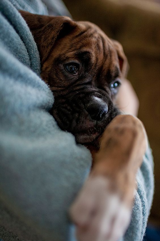 scarlet ~~ by monitorpop 8 week old boxer puppy