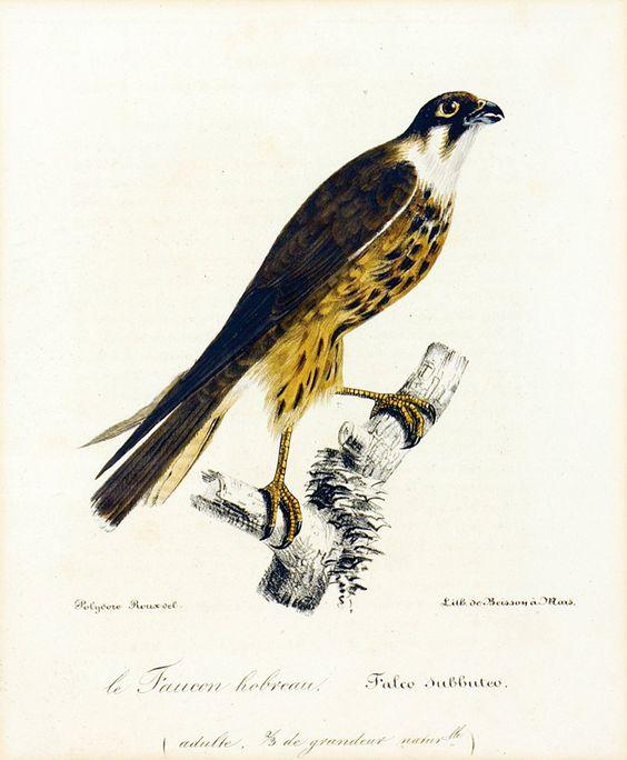 Falcon, 1825