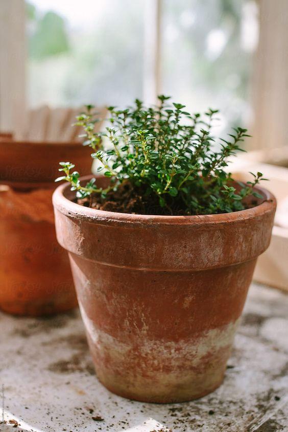 thyme, window sill herb garden