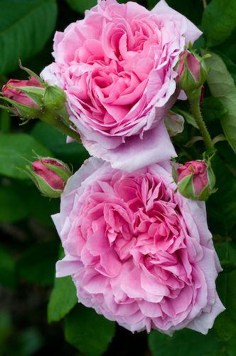 ~Portland Damask rose Rosa 'Comte de Chambord':