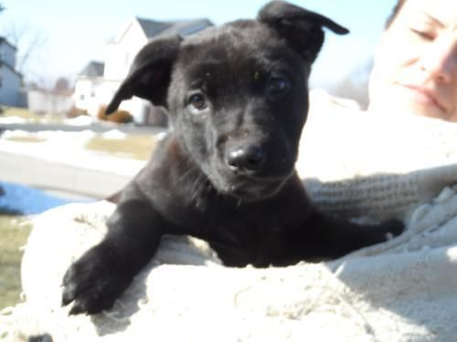 Wg Litter-Valentino is an adoptable Black Labrador Retriever Dog in Livonia, MI You can fill out an adoption application online on our official website.If interested in an ... ...Read more about me on @petfinder.com