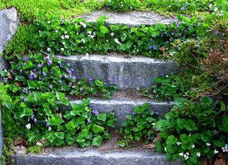 Violettes et sédums le long des contremarches