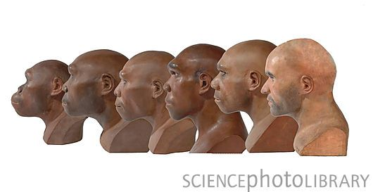 from left to right: Australopithecus, Early Homo erectus (Java Man), Late Homo erectus (Peking Man), Homo heidelbergensis (Rhodesian Man), Homo neanderthalensis (Neanderthals) and Early Homo sapiens (Cro-Magnons)