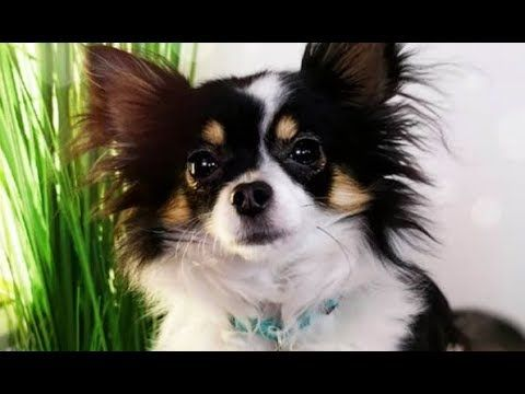 Funny And Cute Chihuahua Videos Funniest Chihuahua Dogs Puppies
