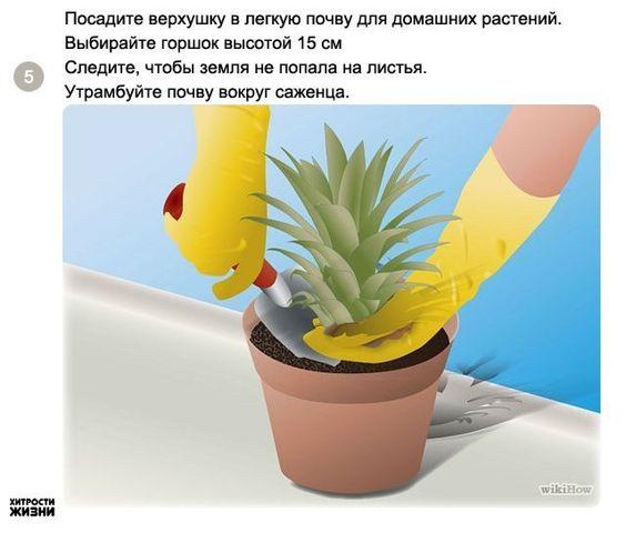 Plantio de abacaxi, o ciclo é de aproximadamente 18 meses... Recomenda-se retirar as folhas de baixo e esperar secar um pouco durante dois dias. Depois, colocar na água até aparecer as raízes e em seguida plantar em um vaso. Deve-se trocar a água em dias alternados. http://www.ipa.br/resp18.php