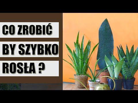 Wszystko Co Musisz Wiedziec O Sansewierii Jak Uprawiac Wezownice Youtube Home Decor Home Decor Decals Indoor Plants