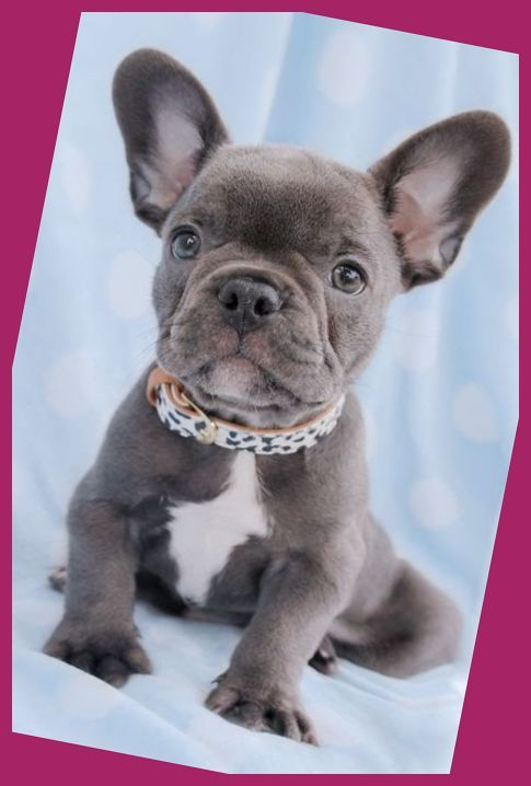 The Unique French Bulldog With His Big Bat Ears And Even Personality Is Among The Wor French Bulldog Puppies Cute Bulldog Puppies Blue French Bulldog Puppies