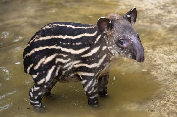 Tamang is a tapir calf born at the Bristol Zoo. He currently sports a distinct spotted and striped coat similar to that of all young tapir species which provides excellent camouflage in their native forest habitat. The mature coat, a dark chocolate brown, develops by 6 - 9 months of age. #Tapir