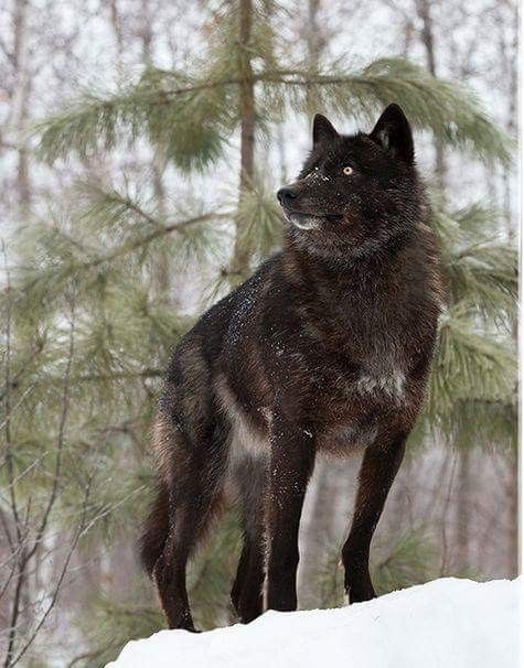 Pin By Jean Thompson On Black Wolves Wolf Spirit Animal Black Wolf Wolf Dog
