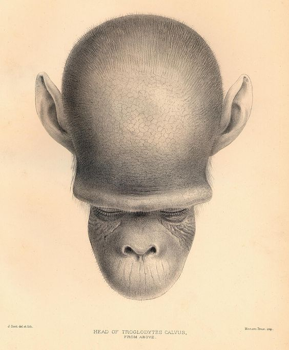 Head of a single common chimpanzee viewed from above.