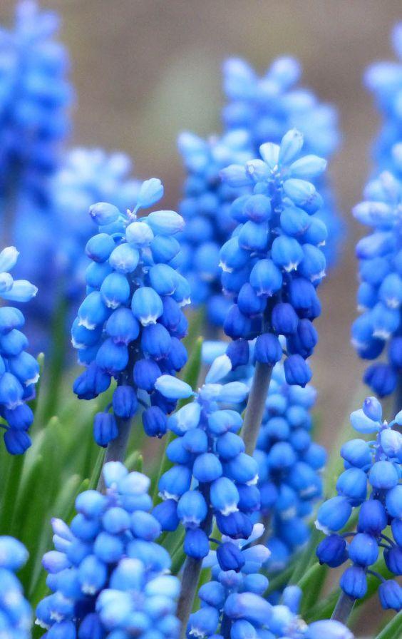 "Muscari flower photos, 35 best flower photos. ""Repinned by Keva xo""."
