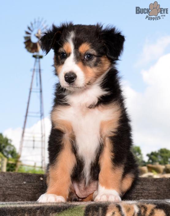 Pin By Jamie Allen On Animals Australian Shepherd Puppies