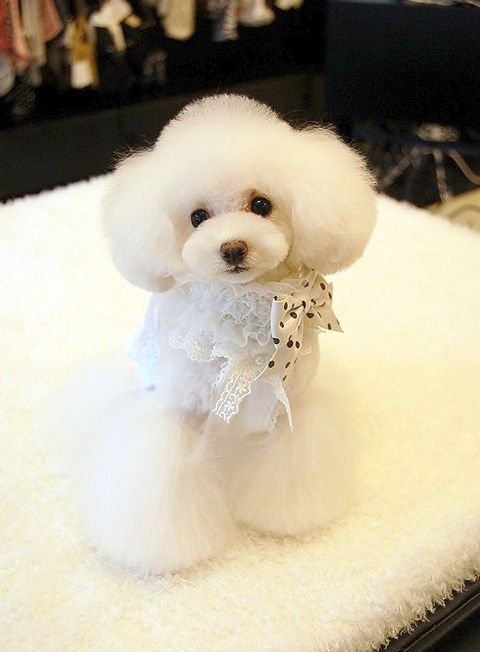 5 Darling Poodles One Adorable Dog In Many Convenient Sizes Ideas Poodle Dog Cute Dogs Poodle Puppy
