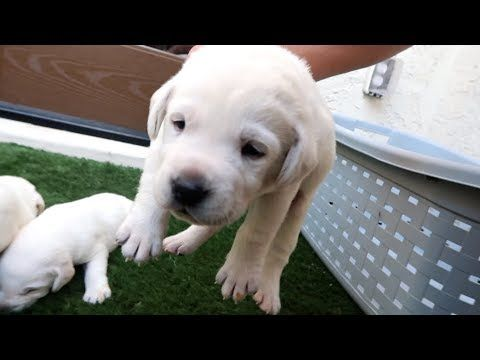 Labrador Puppies Open Their Eyes For The 1st Time Labrador Puppy Labrador Puppies