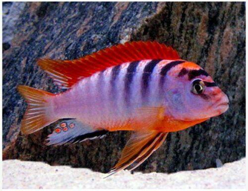Malawi Cichlid 5 X Labidochromis Hongi Super Red Top 6cm 8cm African Cichlid Aquarium Cichlids African Cichlids