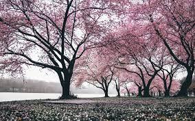 Wallpaper Wa Bunga Sakura