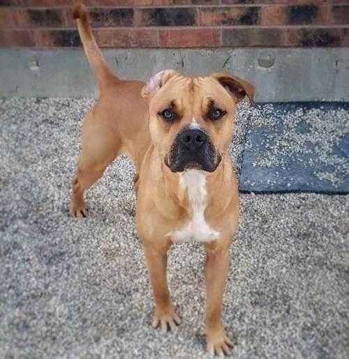 Boxweiler Dog For Adoption In Mundelein Il Adn 760140 On
