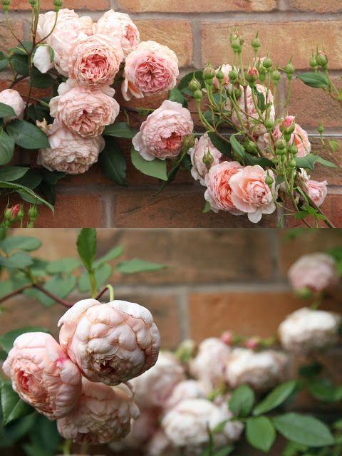 199a3373cff3f38b7ea12800c1417683 david austin roses peony rose