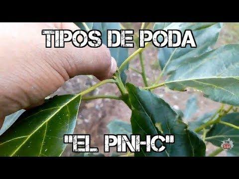 Cultivo De Aguacate El Pinch Poda Apical Salomon Hernandez Rex Youtube En 2021 Aguacate Cultivar Aguacate Frutales En Maceta