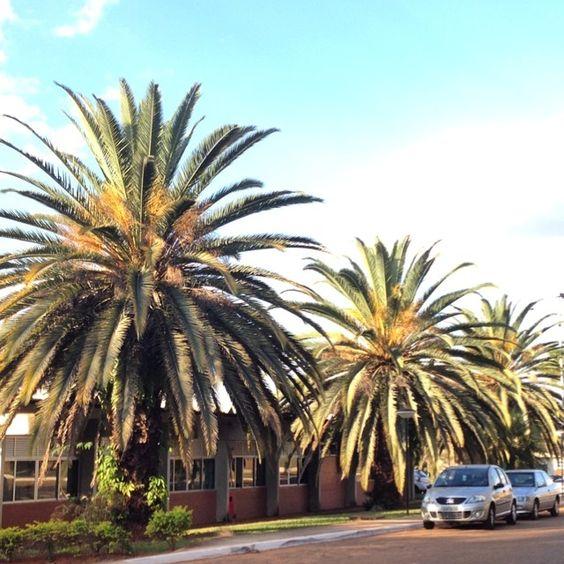 """Canariensis na Embrapa Cenargen em Brasilia. """"Antecipando o futuro, Preservando o Passado"""" #phoenixcanariensis #embrapa #cenargen #embrapacenargen #palmeira #palm #tropical"""