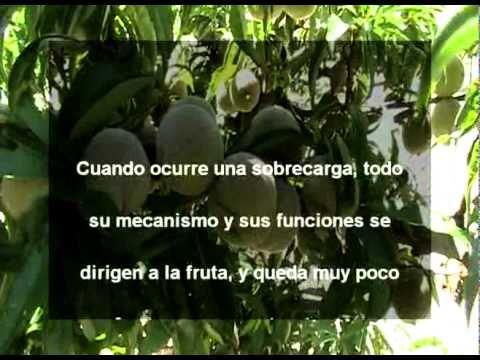 Aclareo de Fruta de Durazno.mpg