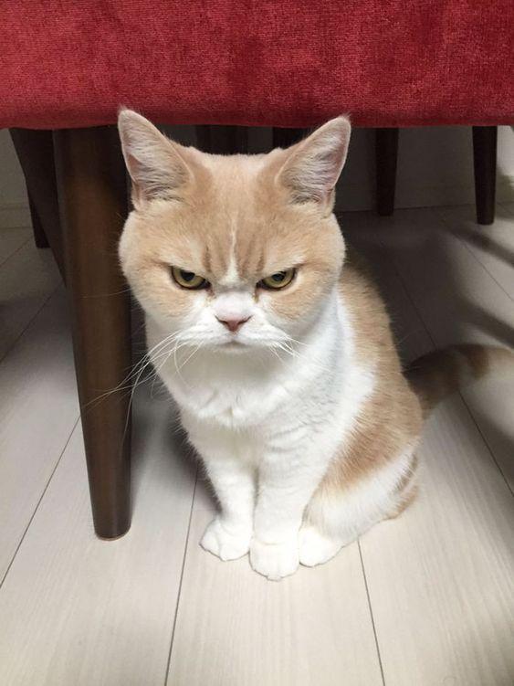 O gato mais estressado do mundo não tem conversa kk