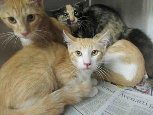 Urgent Los Angeles Ca Domestic Mediumhair Meet A1806023 A Cat For Adoption Kitten Adoption Puppy Adoption Cat Adoption