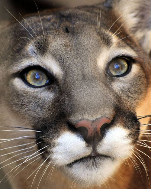 """""""Did you know that a Puma, a Mountain Lion, a Cougar and a Panther (not to be confused with Black Panthers of Asia, Africa and Latin America) are all the same animal? The latin name for the smallest of the big cats is Puma concolor."""" hmmm"""