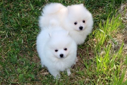 Augusta Registered Tea Cup Pomeranian Puppies For Sale 469 607 6609shipping Available Within Usa Canada Au Pomeranian Puppy Puppies Pomeranian Puppy Teacup