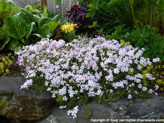 Perennial Ground Cover Rock Garden Plant Creeping Phlox