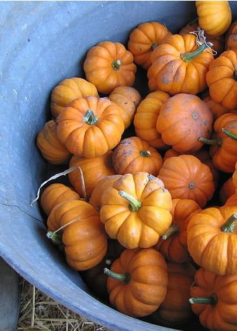 Mini Pumpkins.: