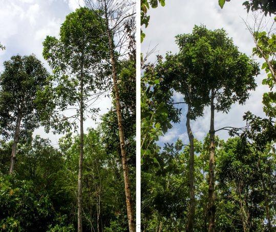 สำรอง อ งกฤษ Malva Nut ช อว ทยาศาสตร Scaphium Macropodium Beaum หร อ พ งทะลาย หมากจอง เป นพ ชท อย ใน วงศ Sterculiaceae อ นโดน เซ ย สวนคร ว เว ยดนาม