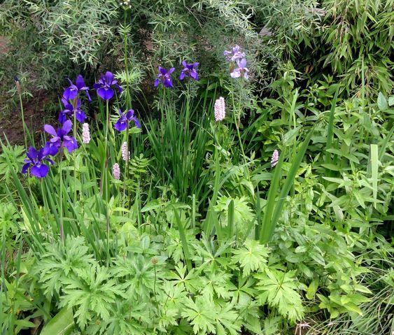 Die Sibirische Schwertlilie (Iris sibirica) ist vielseitig verwendbar - von der Rabatte bis zur Feuchtwiese.