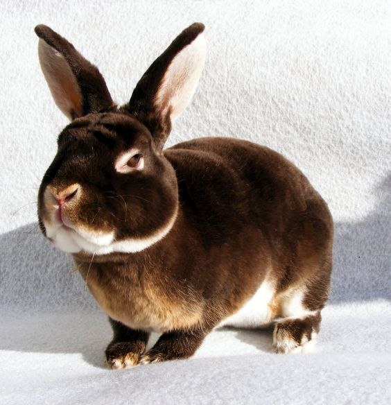 "All About Mini Rex Rabbits | Ely"" – Chocolate Otter Buck ..."