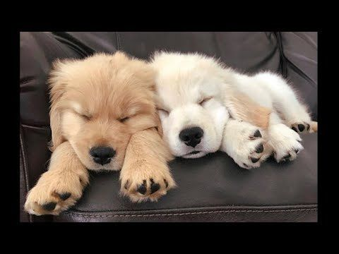 A Golden Retriever Puppy Look At That Adorable Little Face