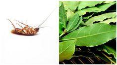 Vous voulez vous débarrasser des cafards ? vous avez des problèmes avec ces insectes désagréables ? Aujourd'hui, il existe une astuce efficace qui nous permettent d'en finir avec les cafards facilement et en un temps record. 1 ère astuce: Placez des feuilles...
