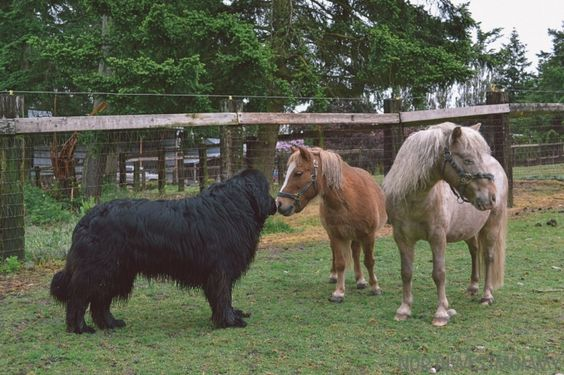 A Newfie and mini ponies!!
