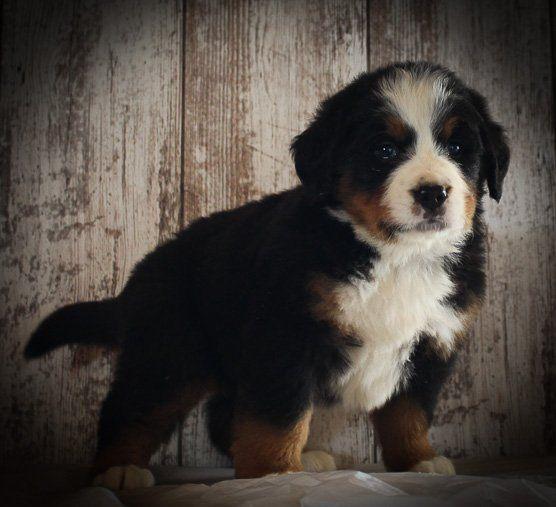 Luke Male Akc Bernese Mountain Dog For Sale In Grabill In