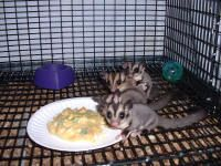 Different diets to offer your sugar gliders