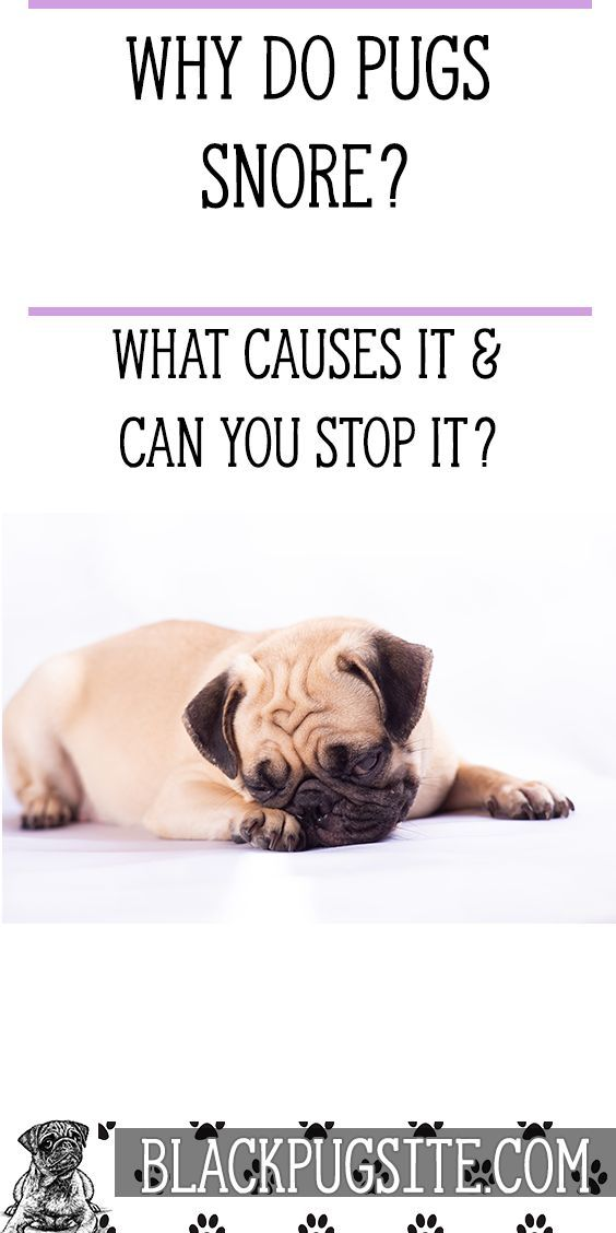 Find Out What Causes Pug Snoring And If There S Anything You Can