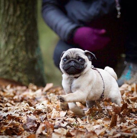 Down Syndrome Dog Puppy Cute Pug Puppies Cute Pugs Pugs