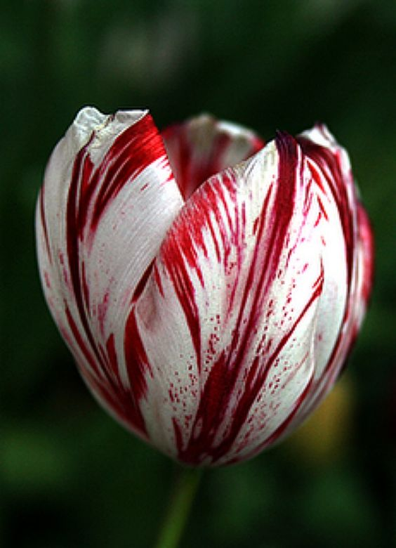 Tulip 'Semper Augustus' | Flowers & Gardens | Pinterest ...
