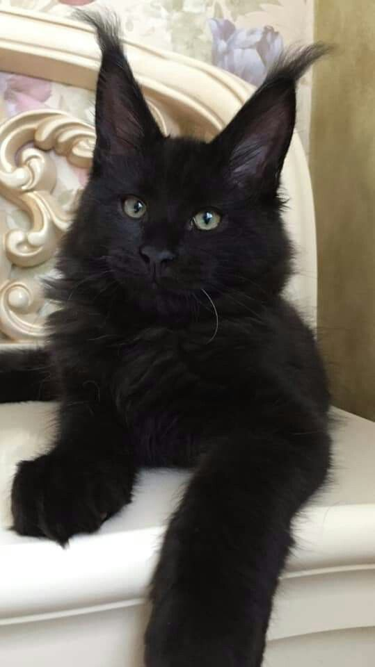 Pin On Black Maine Coon
