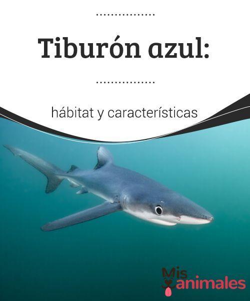 Tiburón Azul Hábitat Y Características Mis Animales Caracteristicas Del Tiburon Protectora De Animales Habitat