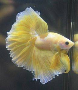 Live betta fish show quality pinkish yellow ohm butterfly for Show betta fish