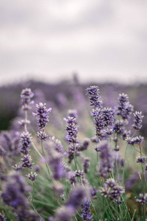 A Visit To The Cotswold Lavender Fields What Stacy Did In 2020 Lavender Fields Photography Lavender Aesthetic Lavender Fields